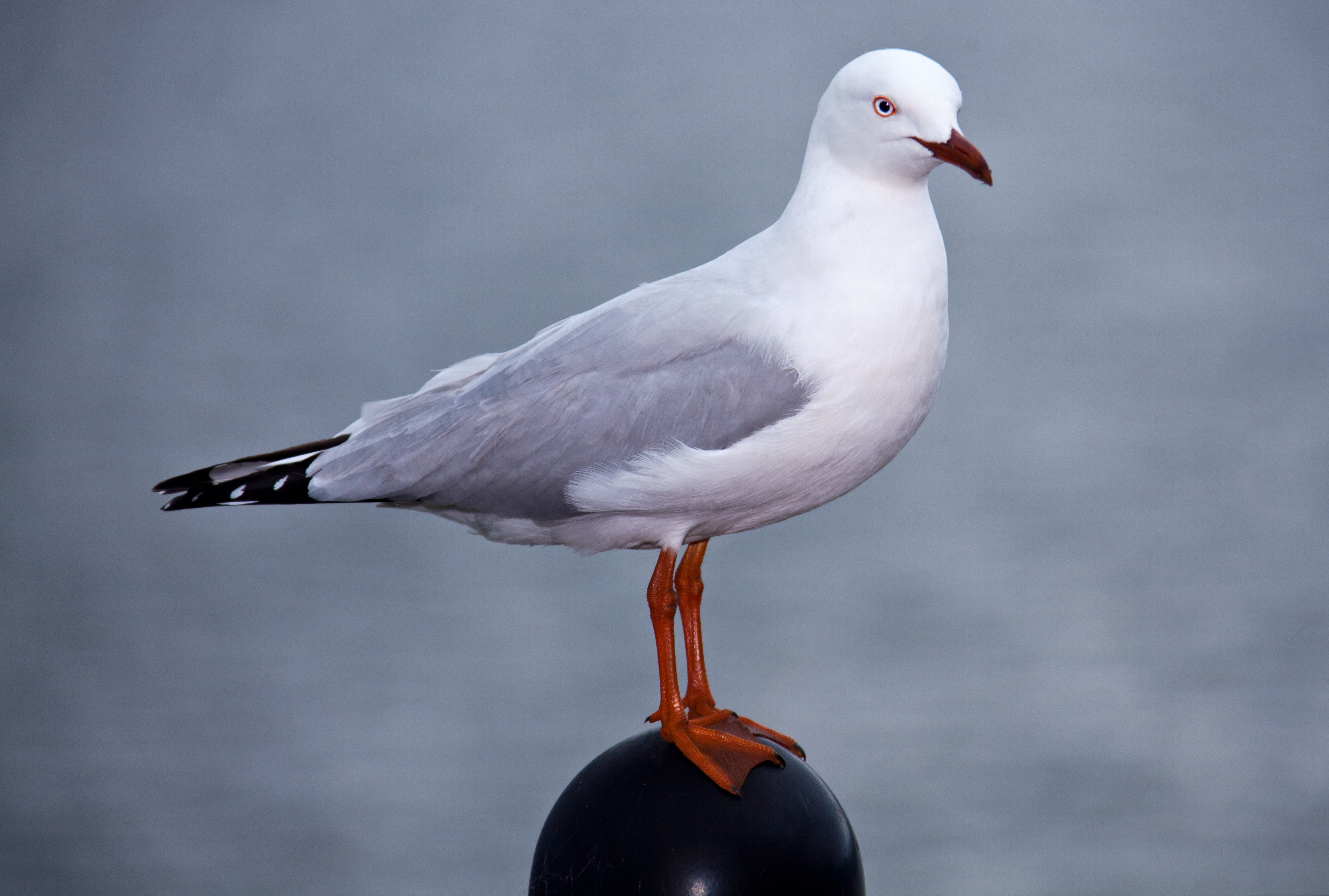 opimal foraging patterns in silver gulls