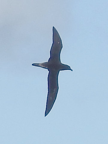 Tahiti Petrel (Pterodroma [Pseudobulweria] rostrata)